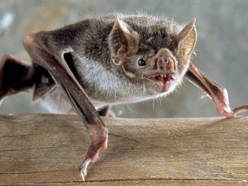 Alerta por invasión de murciélagos con rabia